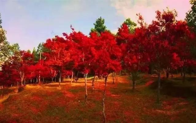 来楚雄市紫溪山赏初冬红色枫叶之美